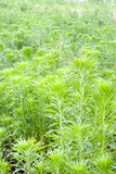 Artemisia Immagini Stock