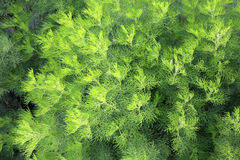 Artemisia abrotanum as hedge in garden Royalty Free Stock Photography