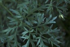 Artemisia absinthium dell'assenzio romano in giardino Pianta dell'assenzio romano usata per medicina di erbe immagini stock