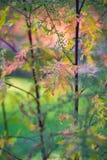 Artemisia annua Στοκ Εικόνες