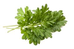 Artemisia arborescens Στοκ φωτογραφία με δικαίωμα ελεύθερης χρήσης