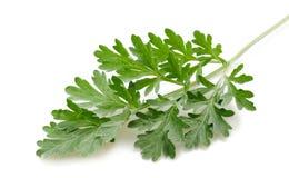 Artemisia arborescens Στοκ Εικόνες