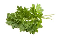 Artemisia arborescens Royalty Free Stock Photos