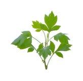 Artemisia bianca su fondo bianco Fotografia Stock