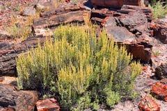 Artemisia circondata dai ceppi petrificati Fotografia Stock Libera da Diritti