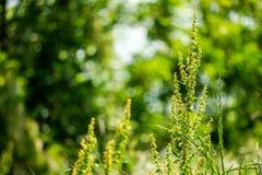 Artemisia or common names mugwort, wormwood, and sagebrush. stock image