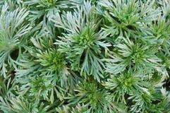 Artemisia de plata del montón fotografía de archivo