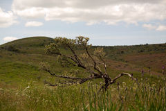 Artemisia dei bonsai Fotografia Stock