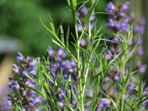 Artemisia Dracunculus στον κήπο Στοκ φωτογραφία με δικαίωμα ελεύθερης χρήσης