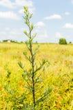 Artemisia L vulgaris Fotografía de archivo libre de regalías