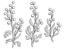 Artemisia plant graphic black white isolated sketch illustration vector. Artemisia plant graphic black white isolated sketch illustration Royalty Free Stock Photography