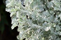 Artemisia schmidtiana Στοκ εικόνα με δικαίωμα ελεύθερης χρήσης