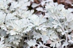 Artemisia stelleriana, wormwood υπόβαθρο εγκαταστάσεων Στοκ φωτογραφίες με δικαίωμα ελεύθερης χρήσης