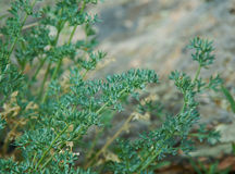 Artemisia tanacetifolia Στοκ Εικόνες