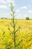 Artemisia vulgaris Λ Στοκ φωτογραφία με δικαίωμα ελεύθερης χρήσης