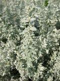 artemisia wormwood purshiana pursha Στοκ Φωτογραφίες