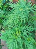Artemisiifolia αμβροσιών προκαλώντας την αλλεργία Στοκ Εικόνες