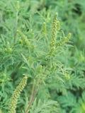 Artemisiifolia dell'ambrosia che causa allergia Immagini Stock Libere da Diritti