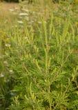 Artemisiifolia dell'ambrosia che causa allergia anche chiamato ambrosia annuale, bitterweed, blackweed, erbaccia della carota, er Fotografia Stock Libera da Diritti
