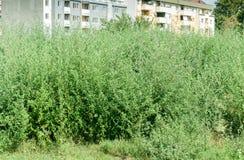 Artemisiofolia αμβροσιών πράσινων εγκαταστάσεων - κοινός ετήσιος χαμηλός ο θάμνος κοντά στον κίνδυνο πόλεων για την αλλεργία αναπ στοκ εικόνες