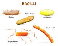 Arten von Bakterien bazillen vektor abbildung