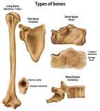 Arten von Knochen vektor abbildung