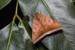 Artena dotata moth on green leaf Stock Images