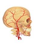 Arteria carótida Imágenes de archivo libres de regalías