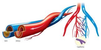 Arteria e vena illustrazione di stock