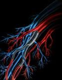 Arteria - injertos arteriales del Teflon Foto de archivo