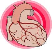 Arterias coronarias ilustración del vector