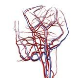 Arterias de la pista y del cerebro Imagen de archivo libre de regalías