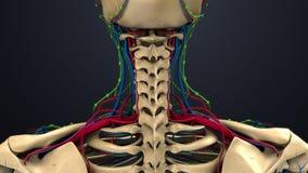 Arterias, venas y ganglios linfáticos en el cuello ilustración del vector
