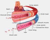 Arterie e vene illustrazione di stock