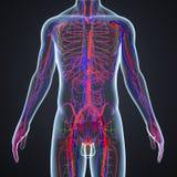 Arterie, vene e Lymphnodes con il corpo umano royalty illustrazione gratis