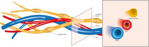Arteriell-venös-Lymph Lizenzfreie Stockbilder