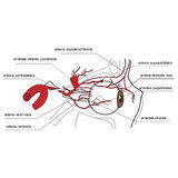 Arteries of the eye - side view Stock Photos