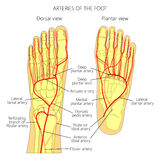 Arteries of the foot Stock Photography