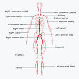 Arteries labelled Royalty Free Stock Photo
