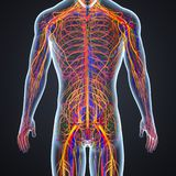 Arteries, Veins and Nerves with Human Body. Arteries are muscular blood vessels that carry blood away from the heart. They are contrasted with veins, which carry Royalty Free Stock Photo