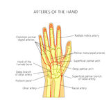 The arteries to the palmar side of the hand the scheme Stock Photography