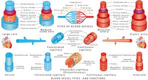 Arteries and veins. Structure of blood vessels. Blood vessel types and functions. Anatomy of blood vessels from artery through capillaries to vein. Scheme of stock illustration