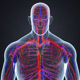 Arteries, Veins and Lymph nodes in Human Body Posterior view. There are two types of blood vessels in the circulatory system of the body: arteries that carry Royalty Free Stock Images