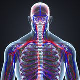 Arteries, Veins and Lymph nodes with Human Skeleton Body Posterior view stock illustration