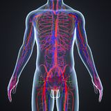 Arteries, Veins and Lymphnodes with Human Body. There are two types of blood vessels in the circulatory system of the body: arteries that carry oxygenated blood Royalty Free Stock Photos