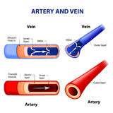 Artery and vein. Stock Photo