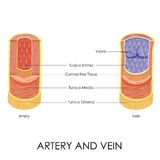 Artery and Vein. Vector illustration of diagram of artery and vein Stock Image