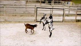 Artes marciais novas da prática das cabras no jardim zoológico filme
