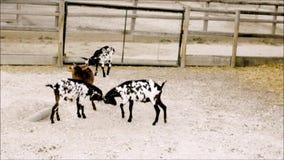 Artes marciais novas da prática das cabras no jardim zoológico video estoque