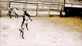 Artes marciales de la práctica joven de las cabras en parque zoológico metrajes